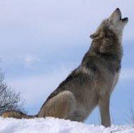 Wolf24