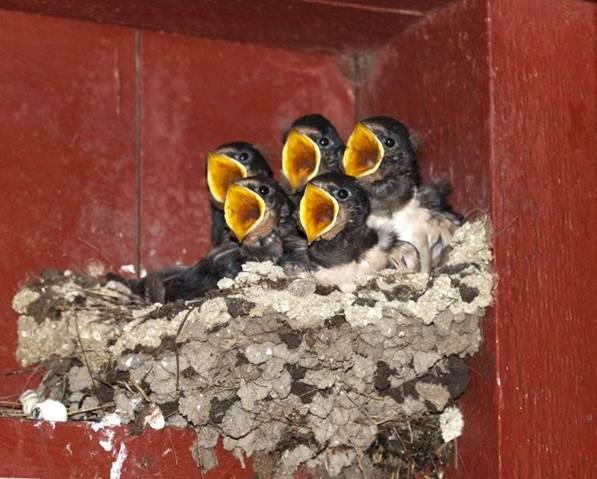 baby birds mouths open.jpg