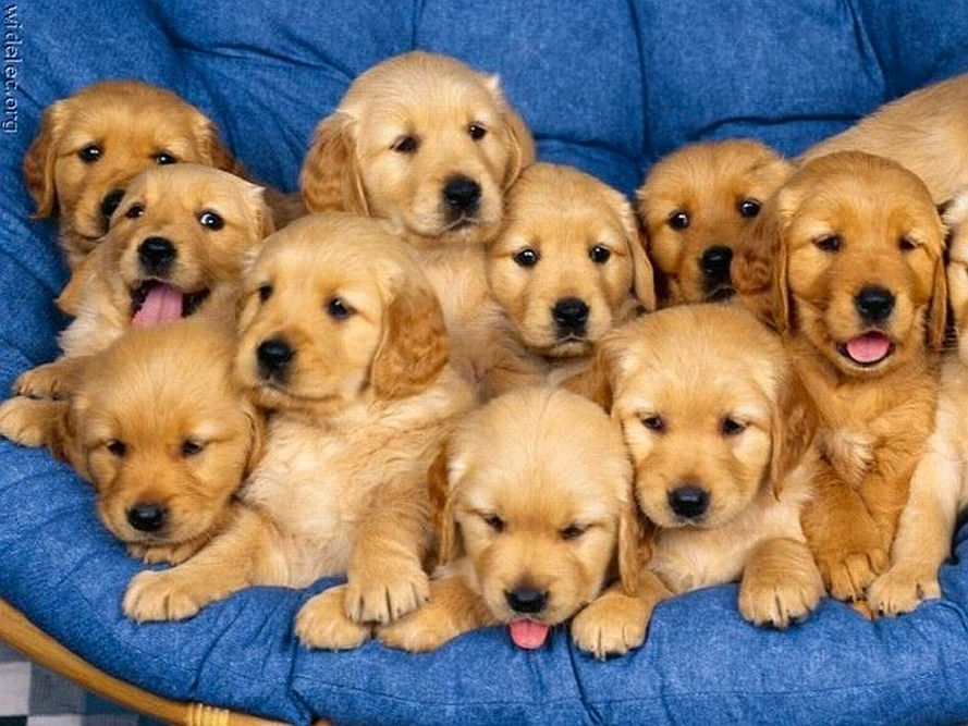 golden pups.jpg